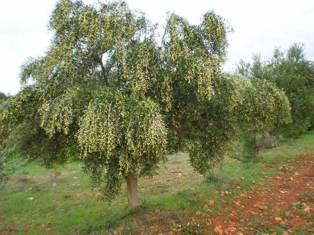 """Βιολογικό Ελαιόλαδο - Κτήμα Οικ. Κατσάνη: """" Η Καλλιέργεια της Ελιάς """""""