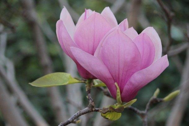 Saucer magnolias Magnolia soulangiana Alexandrina  #plant #saucer #magnolias #magnolia #soulangiana #alexandrina #photography