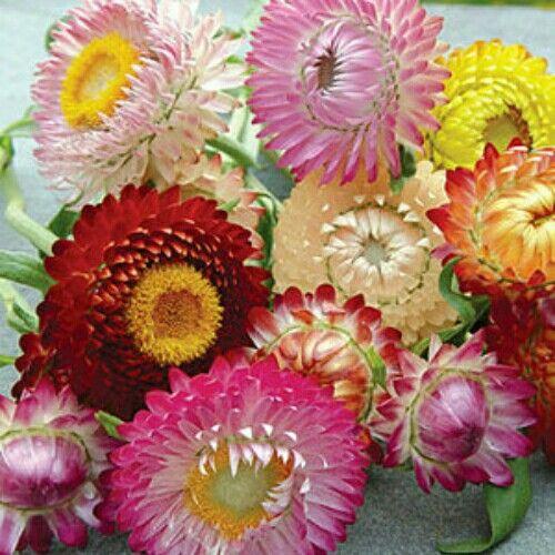Strawflower mix  Flowers in shades of bronze, crimson, yellow, rose and white.  Isi 100 benih (harga 10rb)  sms/wa 085777119992  Pin bb id silky 54732db8 Line id silkynazma  Hanya di @amefurashii banyak benih unik & murah  #strawflower #bibitstrawflower #bibit #benihstrawflower #benihbunga #bibitbunga #benihtanaman #bibitimport #tanamanhias #tanamanbunga #bibitmurah #bibitunik  #benihunik #tanamanunik #benihbungamurah #benihbunga #bibitbunga #flowerseed