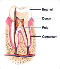 Image: Tooth structure.