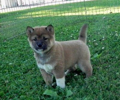 Shiba Inu, Shiba Inu puppies home raised, excellent health & temperments,black, red, creams.Breeder in MN.