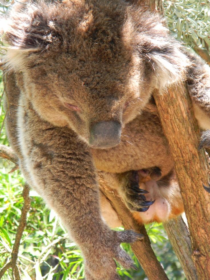 Healesville Sanctuary, Victoria, Australia