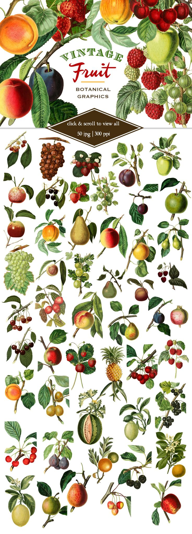 Vintage Fruit Botanical Graphics by Eclectic Anthology on Creative Market