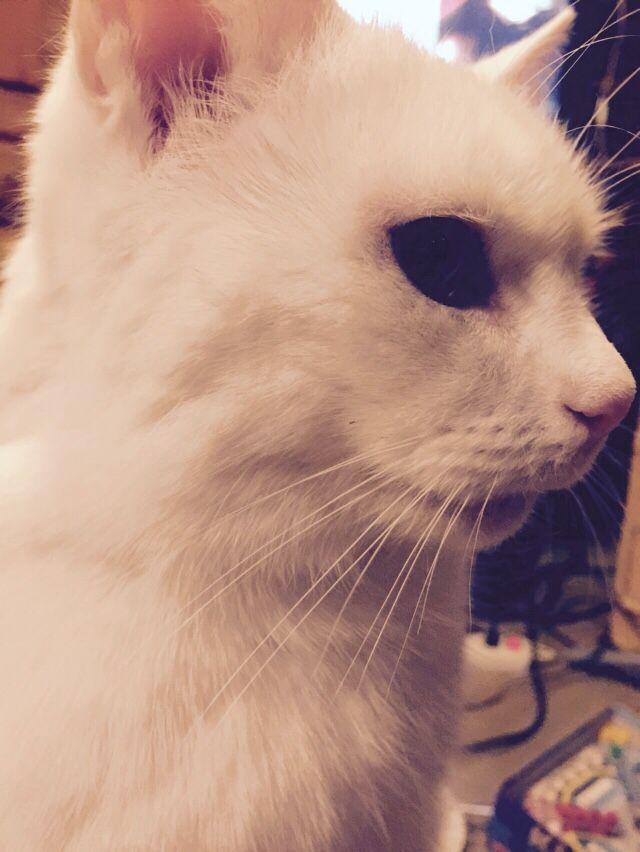 Kissa, miiru mau-mau, savolainen tallikissa