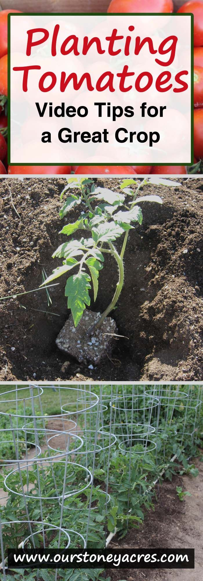 Planting tomatoes should be done in mid to late spring, after all major threats of frost have past.  In our area that means we have tomatoes in the ground around Mothers Day.