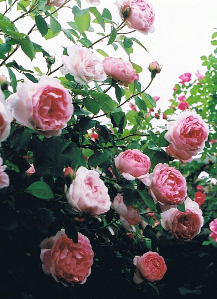 17 best images about roses on pinterest gardens. Black Bedroom Furniture Sets. Home Design Ideas