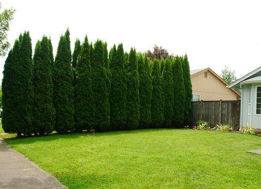 Green Giant Arborvitae - Privacy Screen http://www.bobvila.com/slideshow/10-of-the-best-trees-for-any-backyard-49100/green-giant-arborvitae