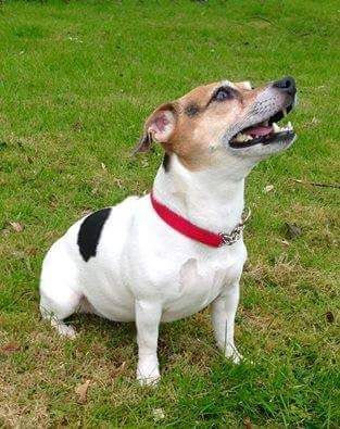 Mini Jack Russell Terrier | Pawshake Paisley