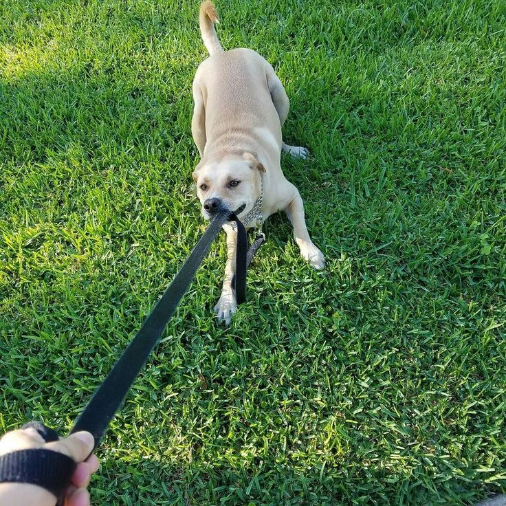Pilsner was in a goofy mood yesterday and wanted to play with his leash instead of going on a walk! Silly to! #dog #puppy #dogs #travel #houston #texas #dogvacay #dogboarding #welovethemlikeourown #happypups #sillypup by altimatedogboarding