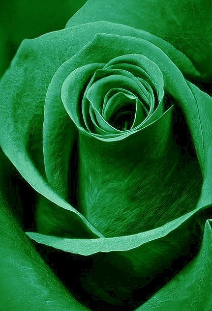 Green Rose Flower