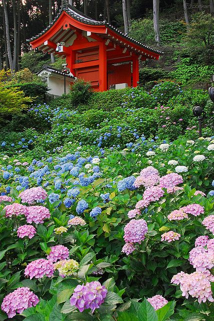 Hydrangea and Mimuroto-ji temple, Uji, Kyoto, Japan