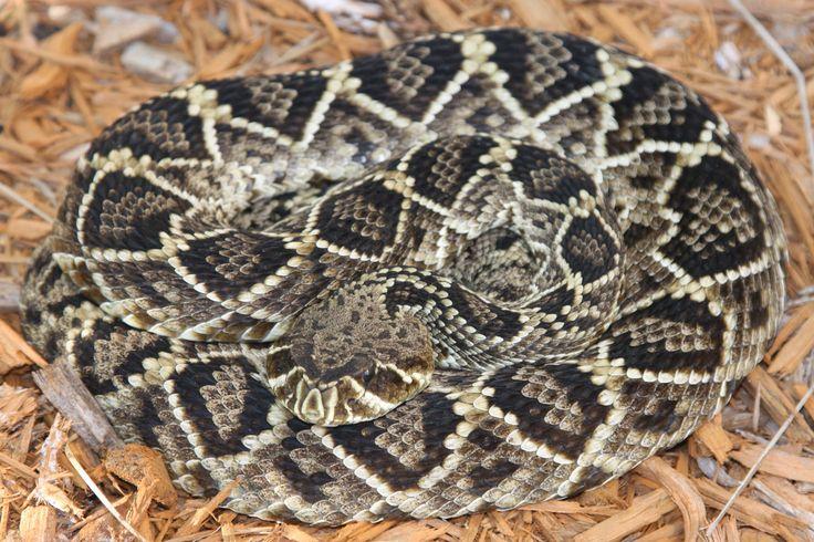 15 foot rattlesnake st augustine