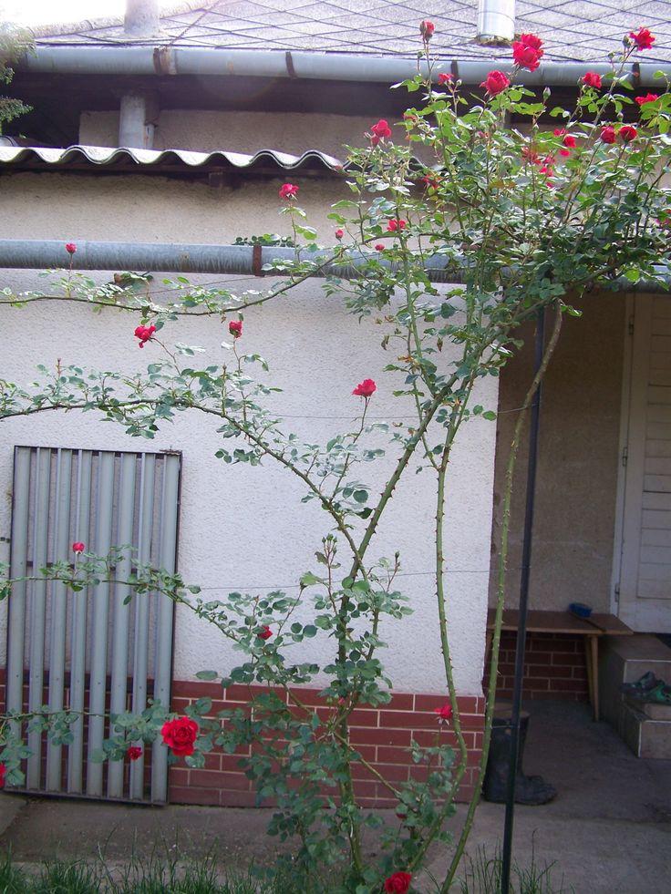 Új cikk: Virágba borultak a futórózsák, http://kertinfo.hu/viragba-borultak-a-futorozsak/, ezekben a témakörökben:  #virágoskert, írta: Faluvégi kurta porta