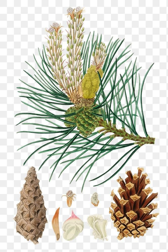 Png Brown Scots Pine Cones Green Plant Illustration Free Image By Rawpixel Com Nook Plant Illustration Illustration Botanical Illustration
