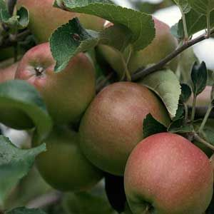 Tips for Apple Tree Pollination: Organic Gardening