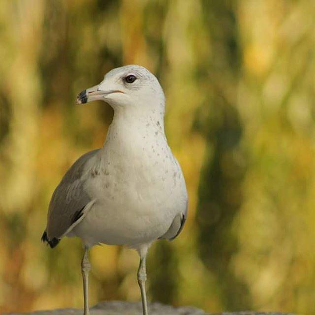 #seagull #seagullofinstagram #seagulloftheday #birds #birdphotography…