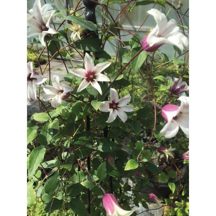 Clematis Texensis Princess Kate - - Dobbies Garden Centres