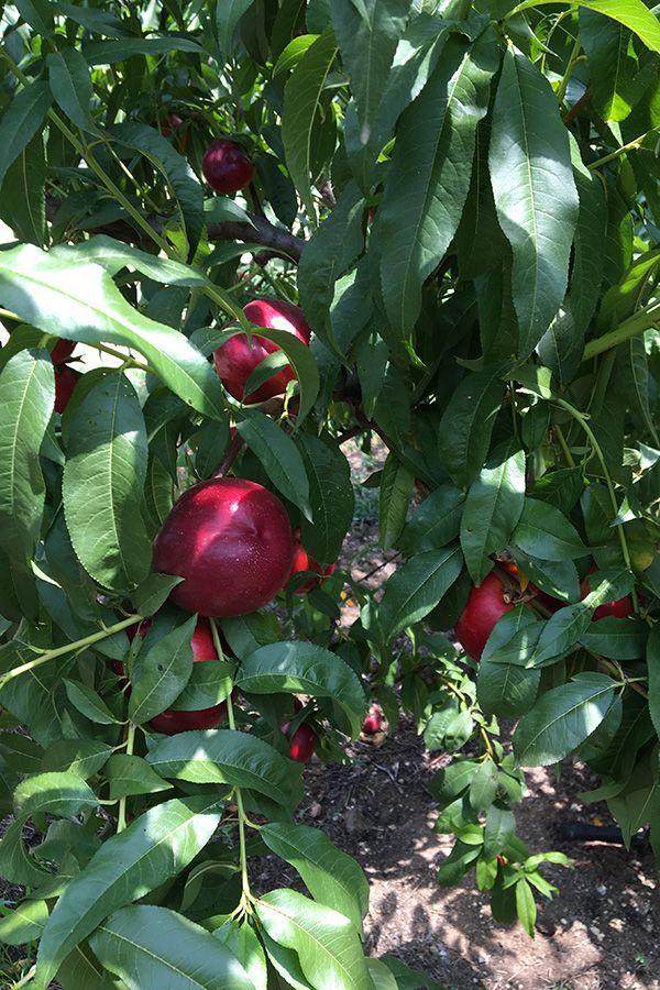 One day tour with trigiro - #taste #fruits #tree #local #trigiro #tour #Greece #northGreece #summer