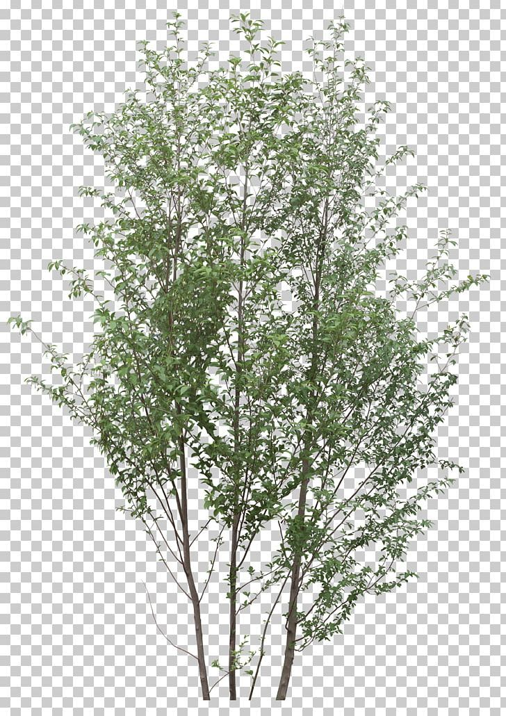 Download Birch Trees Png White Birch Trees Png Png Image For Free The 600x600 Transparent Png Image Is Popular And Ple White Birch Trees Birch Tree Tree Svg
