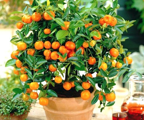 Выращенное дома апельсиновое дерево