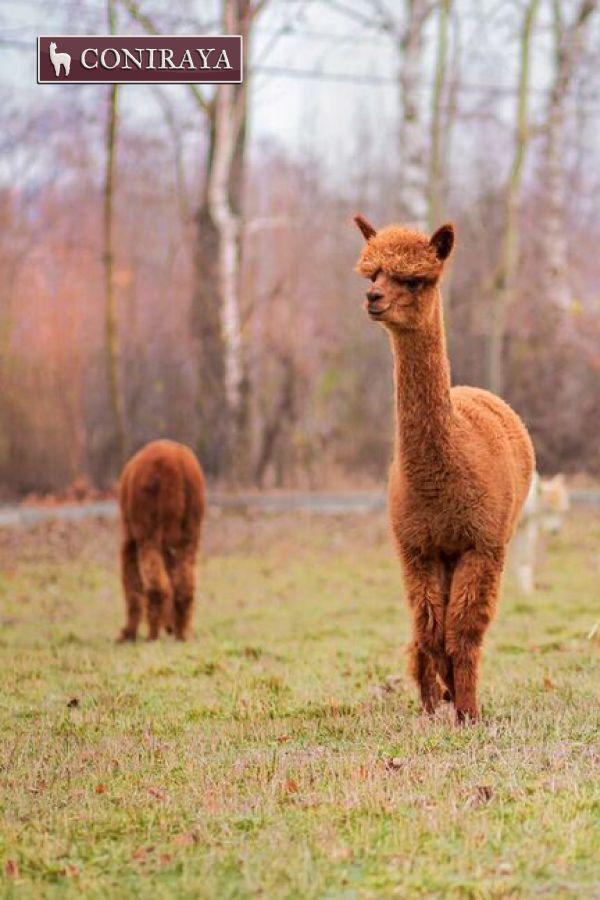 Let's go for a walk, my dear! #alpaca #coniraya #alpakino #alpacas