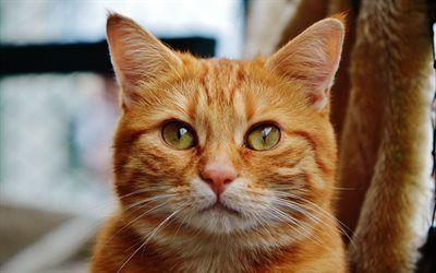 Scarica sfondi gatto rosso, animali domestici, ritratto