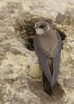 The Sand Martin (Riparia riparia) is a migratory passerine bird in the swallow family. It has a wide range in summer, embracing practically the whole of Europe and the Mediterranean countries, part of northern Asia and also North America. It winters in eastern and southern Africa, South America and South Asia. It is known as Bank Swallow in North America