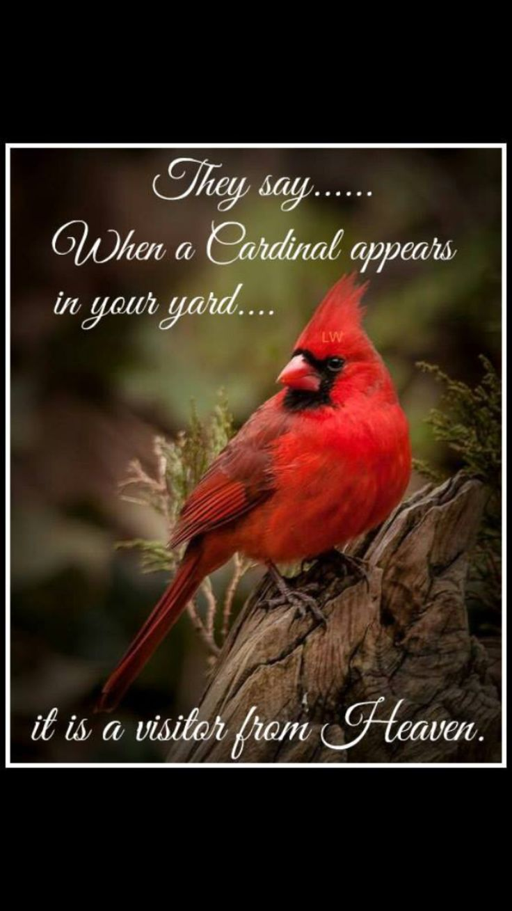 Co color cardinal red - Heavenly Cardinal