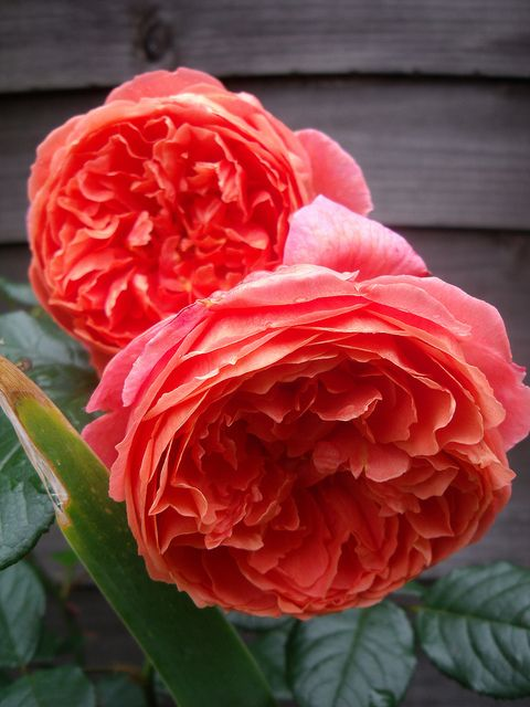 David Austin Rose 'Summer Song'. I have it in my garden, its smell is wonderful.