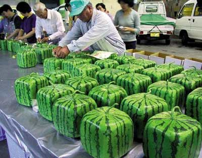 Square Watermelons store more efficiently, still taste great!