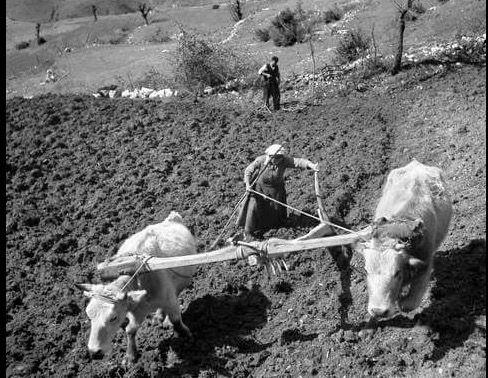 Όργωμα στο χωριό Πύλη Τρικάλων 1951 Φωτογραφία  Τάκης Τλούπας