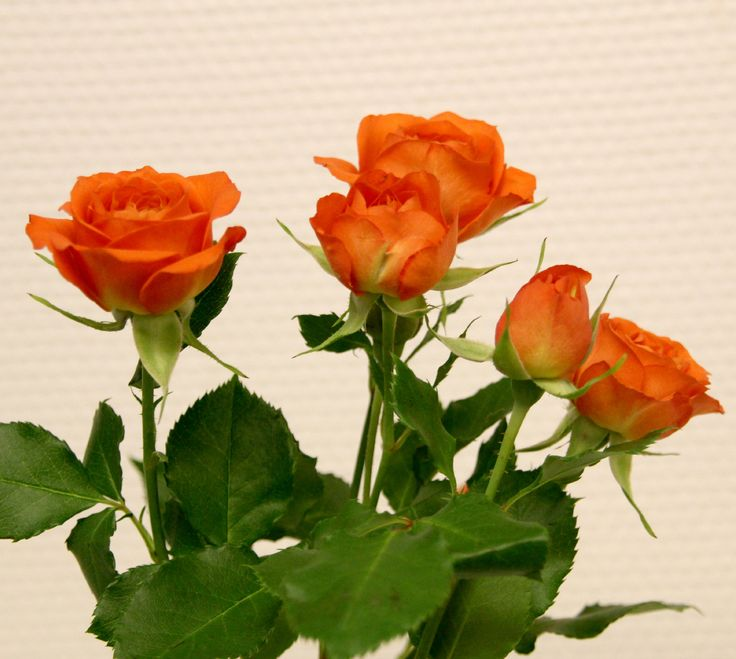 Orange greinrose