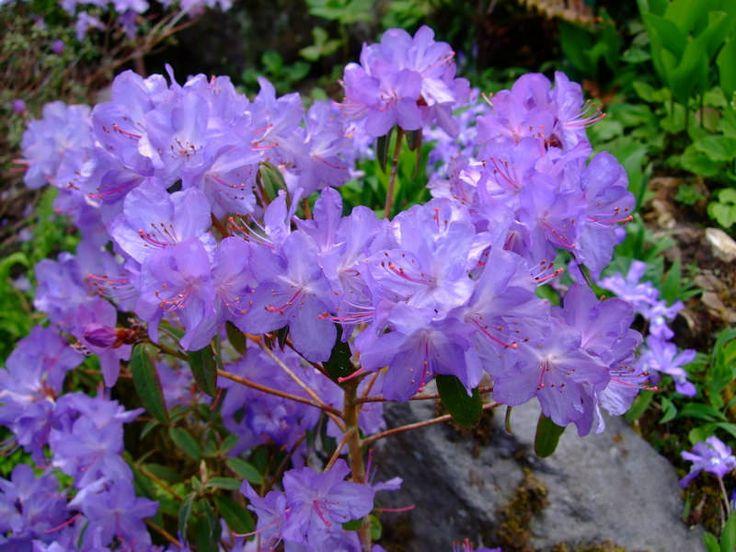 https://flic.kr/p/TpYnP5 | Rhododendron | www.youtube.com/user/yewmchan/videos