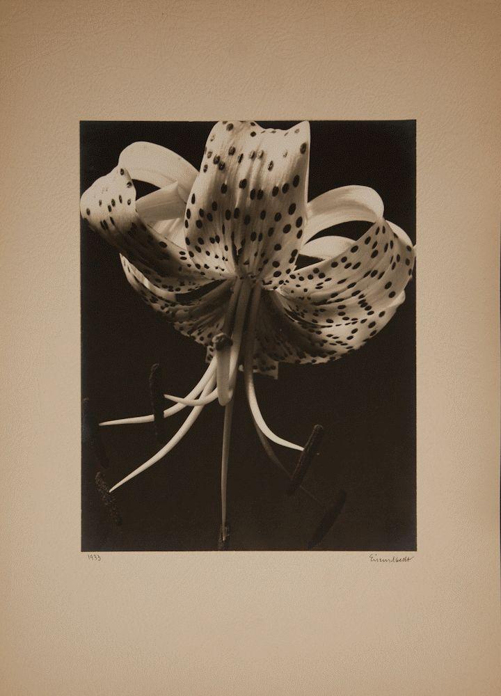 Alfred Eisenstaedt (American, born Poland, 1898 - 1995) - Tiger Lily, 1933