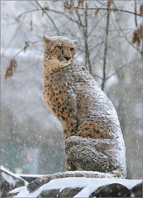 There's something off about a cheetah in snow...