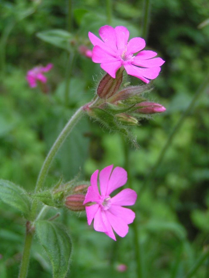 Silene diocia - Red campion. Great for bumblebees and butterflies and several moths feed off the leaves.