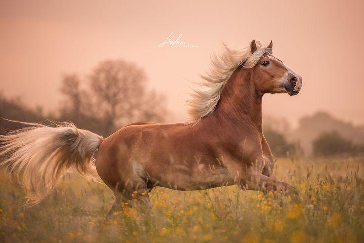 Haflinger castrando galopa através do prado ao nascer do sol   Cavalo Imagens …   – Pferde