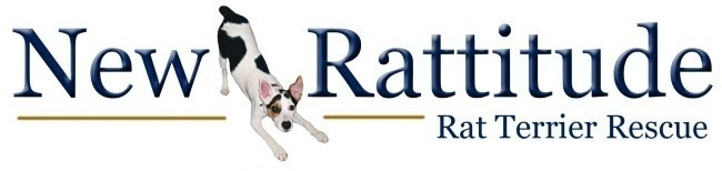 Rat Terriers available for adoption nationwide! www.newrattitude.com Love the Breed, Help those in Need!!
