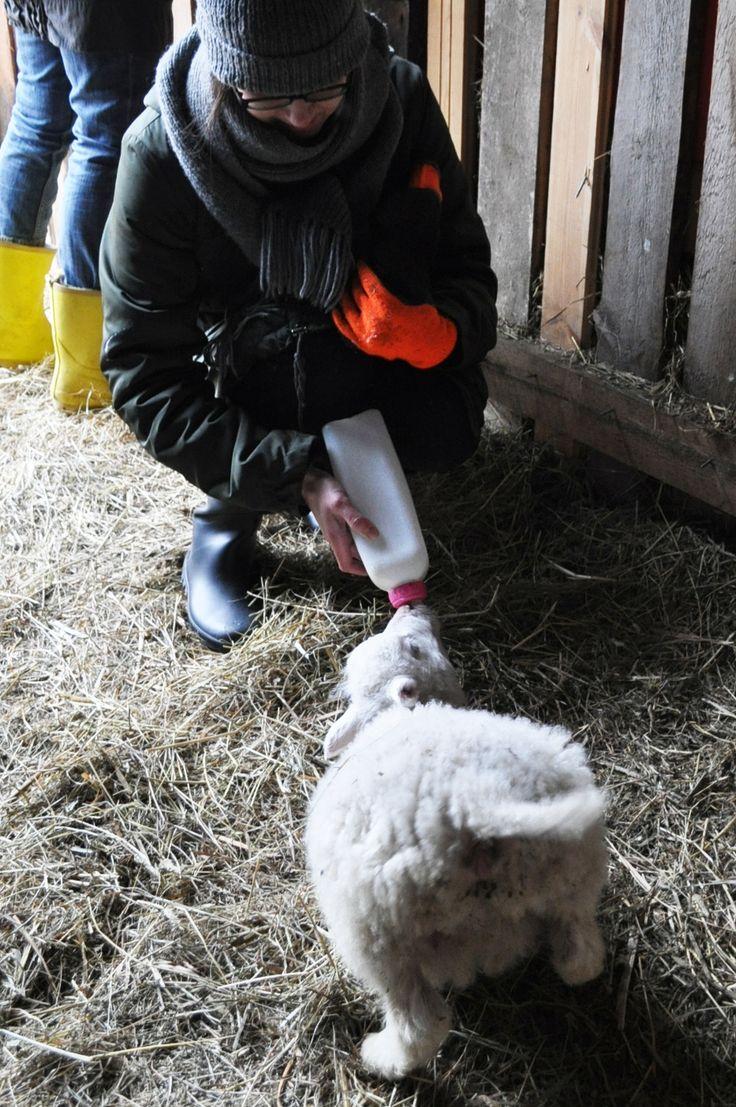 Eläinten hoitaja - Nuolniemen lammastarhat, orvon karitsan aamupalaa tarjoilemassa Kuva: Olga Veselovskaya