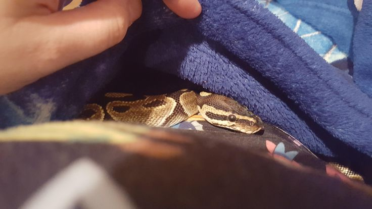 Sneaking pictures of snake cuddles! His favorite place curling into mommas lap under a blanket http://ift.tt/2sXXNLj