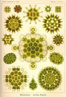 Ernst Haeckel: Kunstformen der Natur, Tafel 34 – Hiromi Sumida