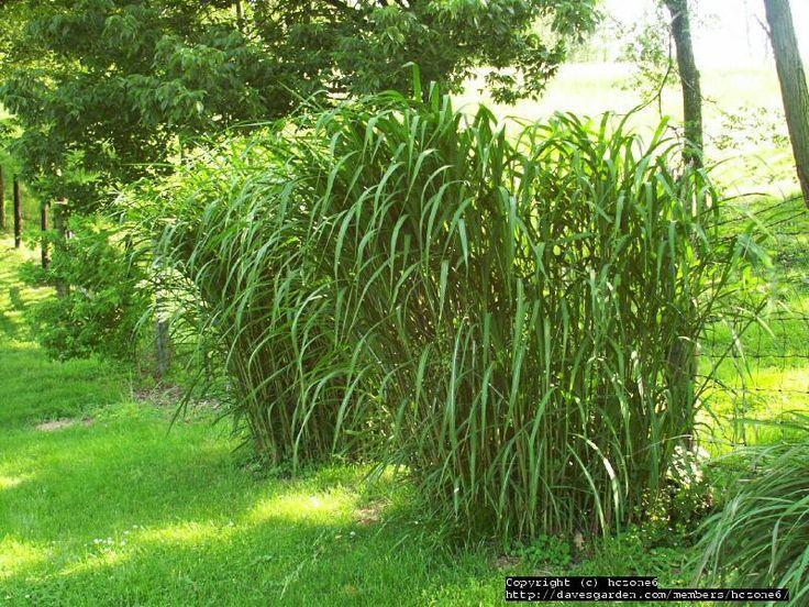 Miscanthus Giganteus Hedge
