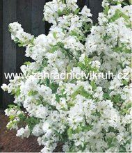 "Hroznovec - Exochorda racemosa ""Niagara""  2,5 L"