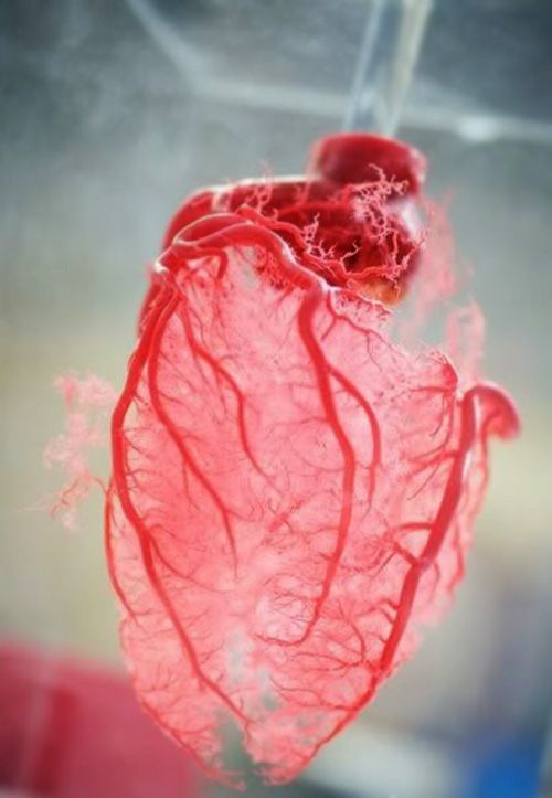 Resin cast of human heart blood vessels. This model was achieved by injecting liquid plastic into a real heart. The plastic resin fills the blood vessels and, once the resin sets, the tissue is dissolved away leaving a perfect replica of the blood supply.