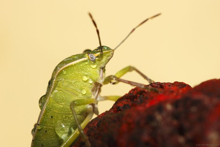 Green stink bug (nezara viridula) with yellow paper background [1280x853][OS][OC]