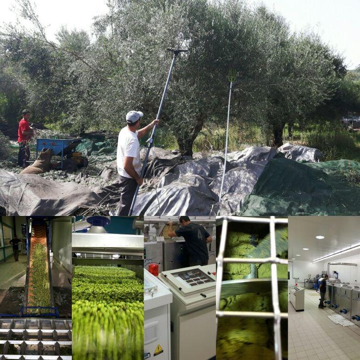 Νέα  σοδειά  Οκτωβρίου 2016 New Harvest October  2016  We started to work 8:00am  We stopped at 17:00pm We were at olive press at 18:00pm A try to produce  olive oil with high quality and polyfenol........