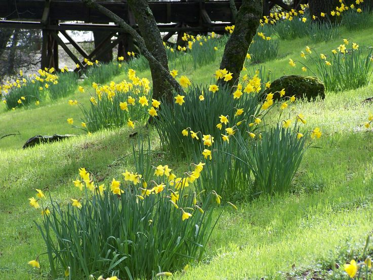 Feb 2010, Ironstone Winery Gardens, daffodils groupings.  central, CA