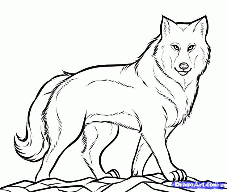 Line Drawings Animals Wildlife : Best wolves images on pinterest little pigs