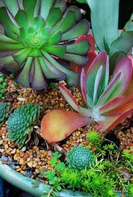 succulents - succulent planter: Beautiful Colors, Succulent Plants, Beautiful Succulents, Succulent Gardens, Colors Succulents, Cacti And Succulents, Dishes Gardens, Flower Gardens, Baby Gardens