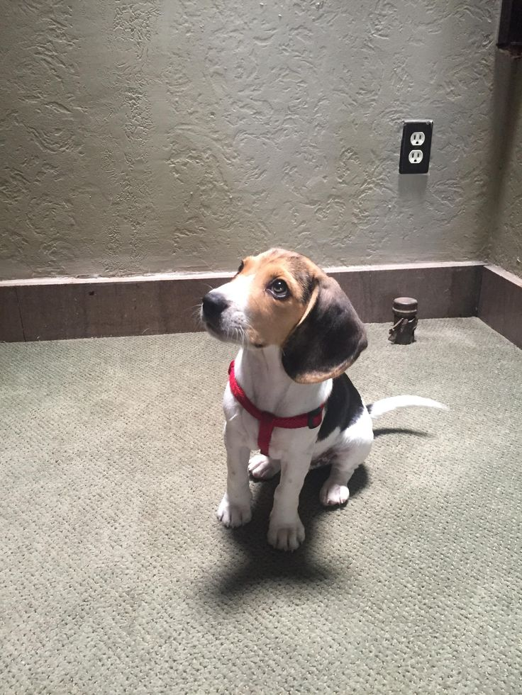 My beagle pup Ollie posing in just the right light. http://ift.tt/2uHyUBw